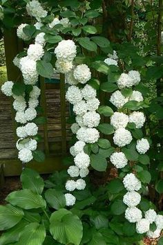 La belleza de las hortensias en tu jardín y hogar Gorgeous climbing hydrangea is a deciduous vine that is perfect for climbing up shady trees, pergolas and arbors. Grows in part sun to shade and blooms in early summer. Vine may take years to bloom afte Climbing Hydrangea, Climbing Flowers, Climbing Flowering Vines, Climbing Vines, Flowering Shrubs, Climbing Shade Plants, White Flowering Plants, White Flowers, Beautiful Flowers