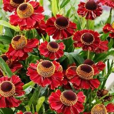 Very compact variety with masses of dark red flowers from July to October. Bushy habit and ideal for pots. Height First grade loose roots supplied. Ruby Tuesdays, Garden Borders, Red Flowers, Flower Pots, Vibrant Colors, Roots, Flora, Dark Red, Compact