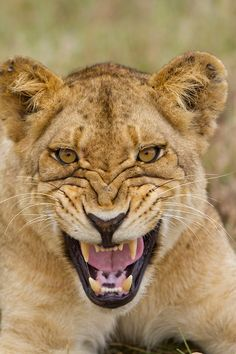 SNARLING LION, SABI SABI RESERVE, SOUTH AFRICA