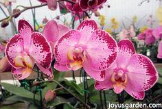 Phalaenopsis Orchids like works of art