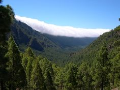 Canary Island Pine growing in the Caldera de Taburiente, La Palma, Canary Islands, Spain. Pinus canariensis - the Canary Island pine - is a species in the genus Pinus, family Pinaceae, native and endemic to the outer Canary Islands (Gran Canaria, Tenerife, Hierro and La Palma) in the Atlantic Ocean.
