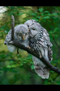 ural owl chick zacek 58934 Animals In Love Beautiful Owl, Animals Beautiful, Pretty Birds, Love Birds, Baby Owls, Cute Baby Animals, Funny Animals, Funny Birds, Photo Animaliere