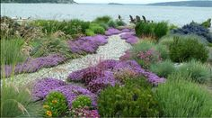 Helictotrichon Sempervirens, Blue Oat Grass, Drought tolerant plant, Ornamental grass , Low maintenance ornamental grass