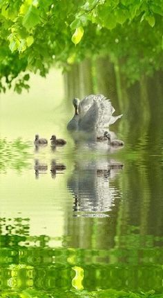Here is a swan with her Cygnets. A baby swan is called a Cygnet. The name of the constellation Cygnus is from the Latin word for swan.