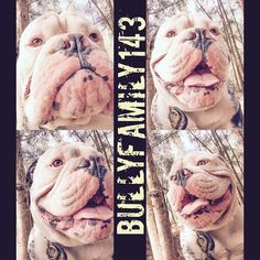 """❤️ Troubles boy  #squishyfacecrew #bulldog #doglover #igbulldog #bulldogworldwide #bulldog_ig_community #instadogs #dogs #oldebulldog #bulldogsofinstagram #bulldogs #bulldogsinstagram #dogsofinstagram #bullylove #petoftheday  #bullysofinstagram #instapet #petsofinstagram  #instabully #igbulldogs_social #igbulldogs_worldwide #dog"" Photo taken by @bullyfamily143 on Instagram, pinned via the InstaPin iOS App! http://www.instapinapp.com (03/20/2015)"