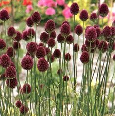 Allium sphaerocephalon - If you have problems with deer or rodents, Alliums are an excellent choice as they are snubbed as distasteful. Oh but the bees love em - Mid Spring, Late Spring - Full Sun - 60 cm - Zone Deer Proof Plants, Allium Sphaerocephalon, Perennial Bulbs, Lavender Garden, Trees And Shrubs, Plant Design, Flower Seeds, Garden Plants, Perennials