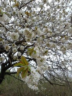 El cirerer en flor #pagesos #primavera