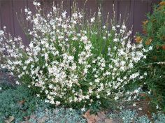 White Gaura Butterfly Bush is a bushy, hardy perennial shrub with long gracefull stems that bloom with white flowers in spring-summer. Sways gracefully in the breeze.