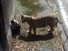 White Tiger Killed Visitor At Delhi Zoo