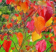 Cercis canadensis 'Forest Pansy' 2 fall foliage