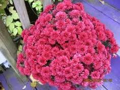 Pink mums for October! Vintage Fall, Shabby Vintage, Fall Mums, Pink October, Outdoor Wedding Decorations, Never Grow Up, Chrysanthemum, Raspberry, Marriage