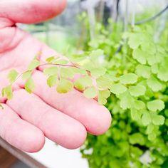 Ogreen Green Thumb 83 m2 Planten Set van 3 Clusia, Herbs, Van, Fruit, Green, Animals, Animales, Animaux, Herb
