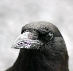 Six amazing birds… Crows, falcons. and turkeys. Here's what makes these six birds so cool Half Elf, American Crow, Grey Warden, Crooked Kingdom, Raven Queen, Six Of Crows, A Series Of Unfortunate Events, Bioshock, Dragon Age