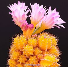 Hardy plant Cactus Succulents Plant Ball Cactu mixed colors of flower perennial bonsai plant embellishing home garden Blooming Succulents, Cacti And Succulents, Planting Succulents, Planting Flowers, Cactus E Suculentas, Cactus Planta, Cactus Blossoms, Cactus Flower, Cactus Cactus