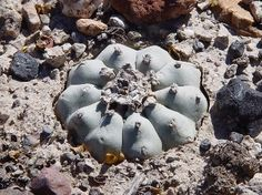 Native Americans have been using the peyote cactus for ritual religious and medicinal purposes for a long time. But its psychoactive alkaloids, particularly mescaline, have led drug users to use and abuse the peyote as a recreational drug.