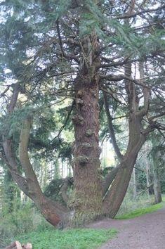 Sapin de Douglas dans le Heywood Walk in Eggesford Forest, Eggesford, Royaume-Uni