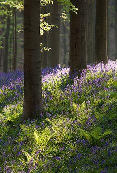 Bluebell forest detail - Dworp, Belgium by Bart Heirweg
