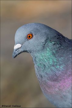 Daniel Cadieux Photography -       The pigeon (Rock Dove) does have remarkable colours and an amazing eye. Quite a handsome fellow despite it's bad reputation within city limits.