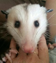 Opossum love from Penny Animal Memes, Funny Animals, Cute Animals, Pretty Cats, Cute Cats, Baby Possum, Opossum, Little Critter, Cute Animal Pictures