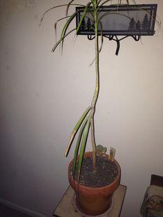 Dracena Repotting - http://www.gardenanswers.com/house-plants/dracena-repotting/