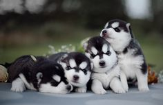These four-legged fur balls are the definition of adorable. Their tiny noses, visibly soft coats, and squirmy little bodies trigger a universal reaction that can certainly be explained by the science of cuteness.  To capture these images, photographer Erica Tcogoeva of St. Petersburg, Russia has turned her camera lens to Siberian husky puppies.