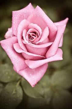 *** My Pink Embroidered Rose ***a print by Perfect Lazybones