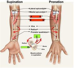 Supination & Pronation #PhysicalTherapy #PT - Pinned by Mountain Land Rehabilitation. Learn more about MLR at mlrehab.com!