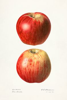 Apples (Malus Domestica)(1921) by Royal Charles Steadman. Original from U.S. Department of Agriculture Pomological Watercolor Collection. Rare and Special Collections, National Agricultural Library. Digitally enhanced by rawpixel. | free image by rawpixel.com Apple Illustration, Science Illustration, Free Illustrations, Fun To Be One, Best Part Of Me, Vintage Images, Royalty Free Photos, Free Images, Vector Free