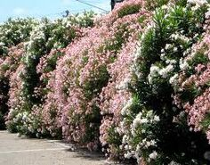 A mixed Oleander/Adelfa/Nerium oleander hedge encloses the pool area.
