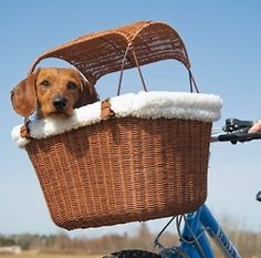 Dachshund in bike basket