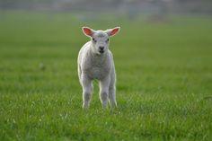 Wypas owiec niesie za sobą ogromną ilość zalet dla człowieka i przyrody. Od dawna są obecne w domostwach i mieszkają bardzo blisko nas. Dbajmy więc o to, by ich hodowla nie została zapomniana.