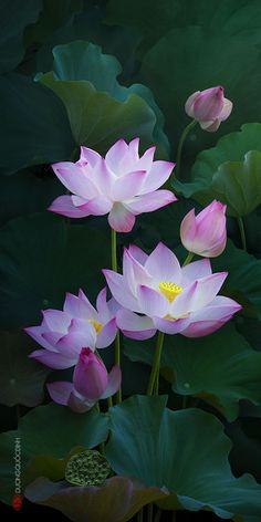New tattoo lotus pink water lilies Ideas Flowers Nature, Exotic Flowers, Amazing Flowers, My Flower, Flower Art, Beautiful Flowers, Water Flowers, Tropical Flowers, Flower Crafts