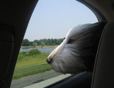 Road trippin with an old english sheepdog