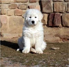 Abruzzese Mastiff, Abruzzese shepherd, Maremma Sheepdog - little, but awesome :) Maremma Dog, Maremma Sheepdog, Pyrenees Puppies, Great Pyrenees Dog, Big Dogs, I Love Dogs, Cute Puppies, Dogs And Puppies, Doggies