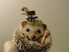 PetsLady's Pick: Cute Thanksgiving Hedgehog Of The Day ... see more at PetsLady.com ... The FUN site for Animal Lovers
