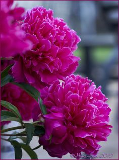 Peonies - one thing I really miss about my house. :(