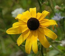 Black-Eyed Susan.   The original title of the Gershwin musical that became Lady, Be Good! (1924)