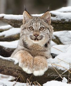 Chat Lynx, Lynx Boréal, Lynx Kitten, Crazy Cats, Big Cats, Cats And Kittens, Cute Cats, Siamese Cats, Adorable Kittens