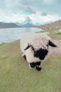 Fluffy Cows, Fluffy Animals, Cute Little Animals, Cute Funny Animals, Zoo Animals, Animals And Pets, Cute Sheep, Baby Sheep, Sheep Farm