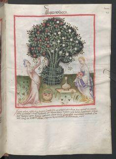 Cod. Ser. n. 2644, fol. 93r: Tacuinum sanitatis: Aqua rosacea