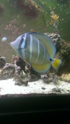 My sailfin tang almost dinner plate sized