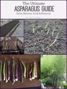 Ultimate Asparagus Guide - Grow-Harvest-Cook-Preserve - An Oregon Cottage