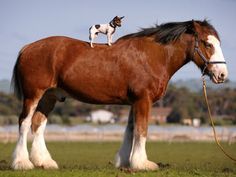 clydesdale horses | Dog Recovers After Best Mate Horse Steps On Her Head
