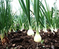 Growing onions is easier than you might think. They're the perfect crop to tuck in between other plants or in corners of garden beds. Growing Onions, Growing Mushrooms, Growing Herbs, Growing Vegetables, Herb Garden, Garden Beds, Glass Garden, Organic Gardening, Gardening Tips