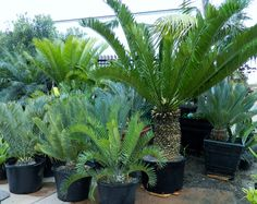 Encephalartos altensteinii.  Cones from last pin came from this plant.  Trunk height 36 inches.