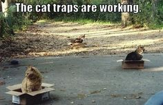 The Cat Traps Are Working - LOLcats is the best place to find and submit funny cat memes and other silly cat materials to share with the world. We find the funny cats that make you LOL so that you don't have to. Crazy Cat Lady, Crazy Cats, Funny Animals, Cute Animals, Animal Funnies, Funny Horses, Cat Traps, Mouse Traps, Funny Cat Memes