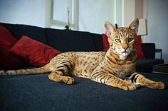 "Ashera Cat — Hybrid Cat Controversy, Cost, And Photos  The Ashera cat was a type of hybrid cat marketed by the controversial company Lifestyle Pets. The hybrid cat breed was allegedly a cross between the African serval, the Asian leopard cat, and a domestic housecat. The truth though — discovered with the aid of DNA testing — was that the ""Ashera"" cats were simply Savannah cats which were bought from a different breeder and then resold."