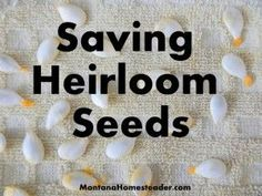 Saving Heirloom Seeds For Vegetable Gardening