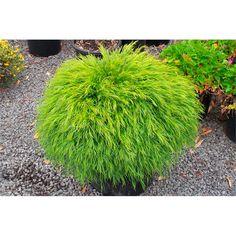 Australian native - garden design- 140mm Acacia Cognata Bower Beauty