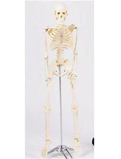 Squelette Humain Miniature